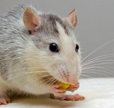 Rodents control