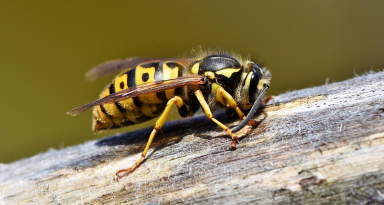 Wasps Control