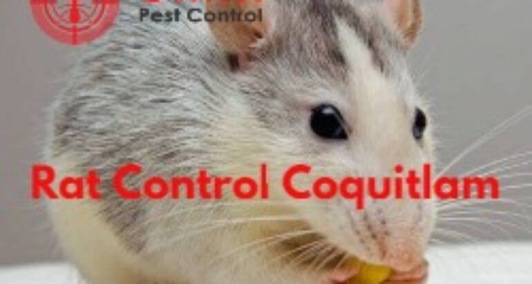 How to Get Rid of Rats in Coquitlam